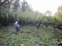 梅の木の伐採