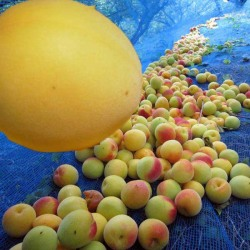 完熟梅ネット収穫