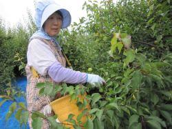 南高青梅の収穫