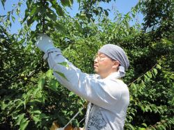 紀州健康梅 青梅(南高梅)収穫