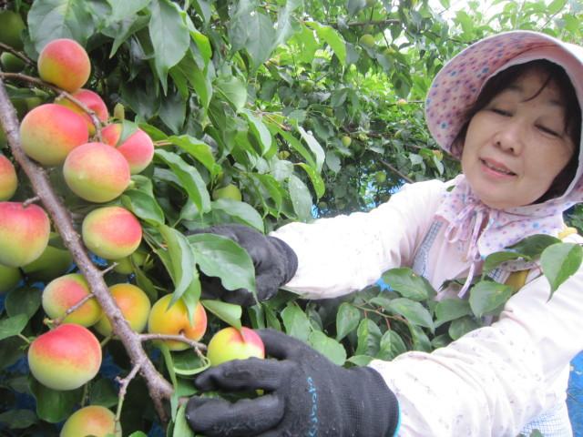 紀州健康梅の収穫