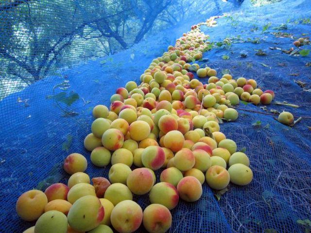 完熟南高梅をネットで収穫