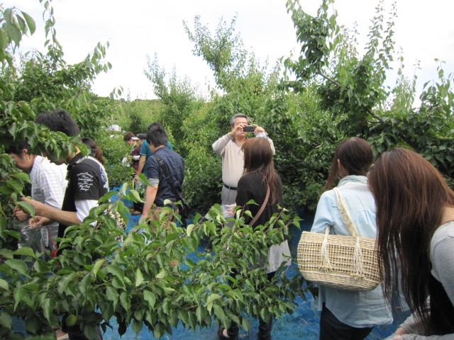 南高梅収穫体験in紀州みなべ伏村農園