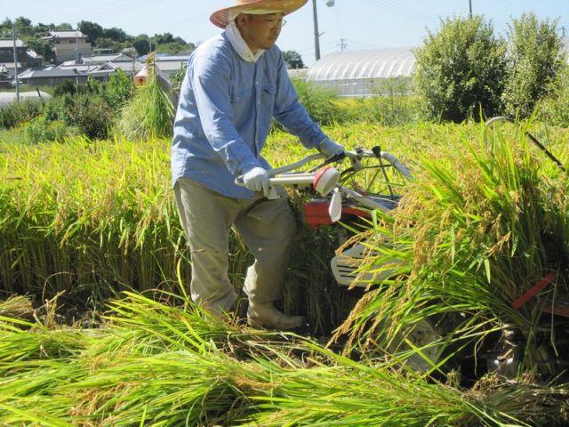 梅の郷での稲刈り