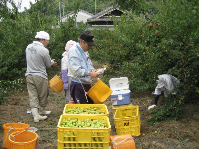 南高梅収穫